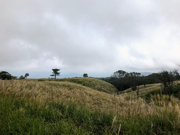 上山高原のススキ原