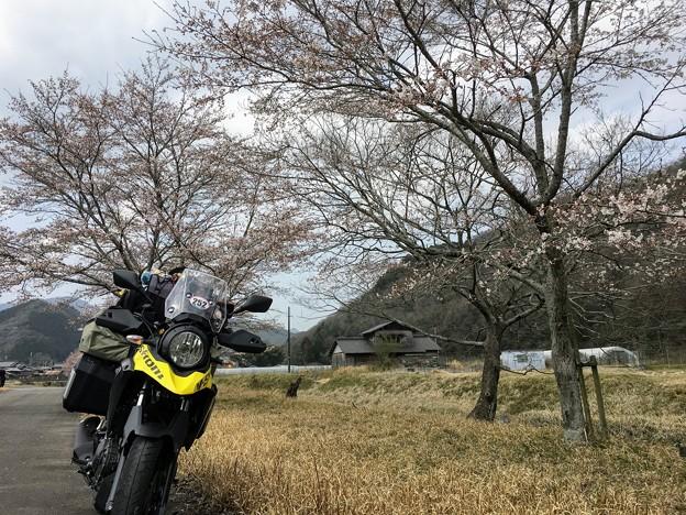 野間川の桜