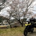 野間川の桜は五部咲き
