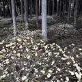 青玉神社 ミツマタの森