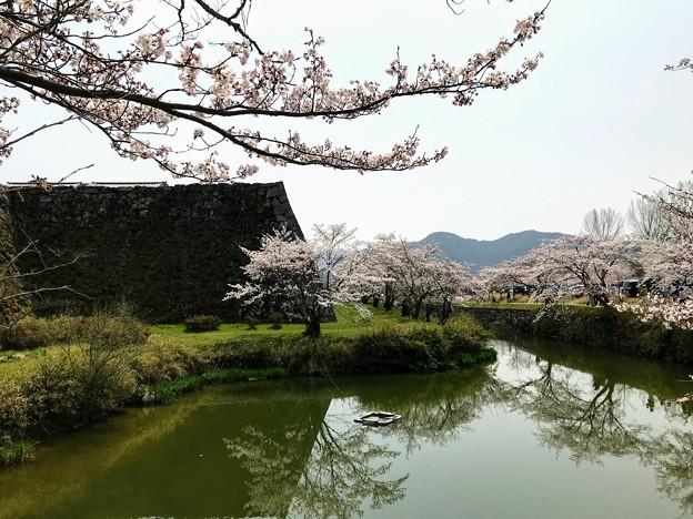 篠山城 お濠の桜