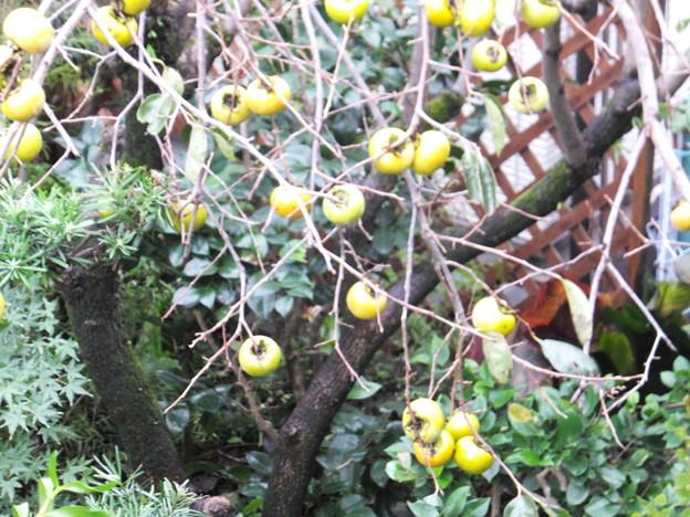 我が家の庭の柿 (1)