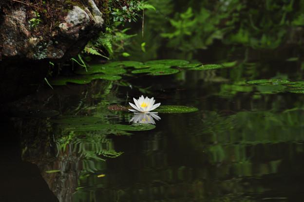 写真: 古池の雨の睡蓮