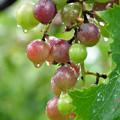 写真: 名残りの葡萄