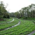 信州 安曇野のわさび農場