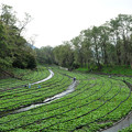 写真: 信州 安曇野のわさび農場