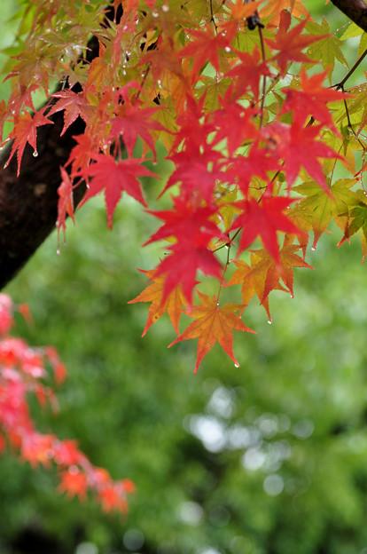雨もまたヨシ! 初紅葉