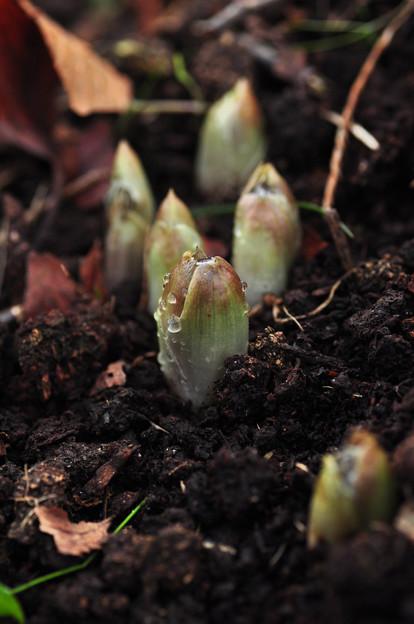 芽吹き  雨上がりの福寿草