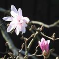 写真: しで辛夷の花