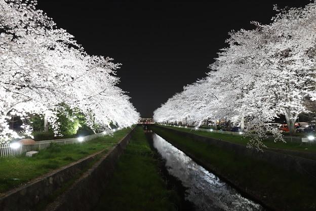 小瀬の桜、ライトアップ