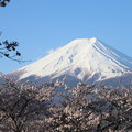 写真: 新倉山浅間公園の桜と富士1