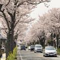 武田通りの桜並木