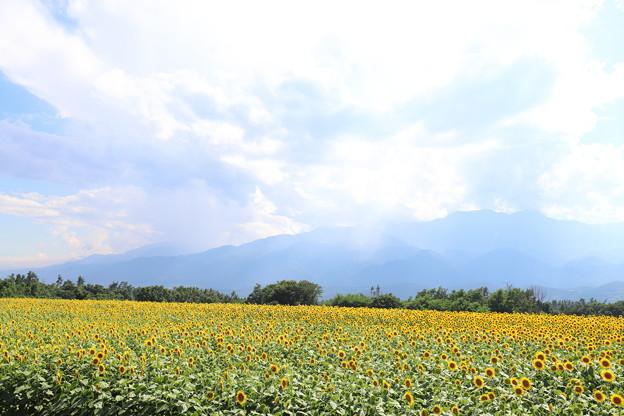Photos: 明野のひまわり1