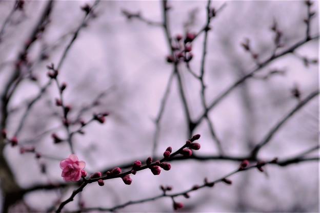 「紅梅、一輪、春を待つ。」