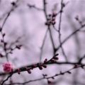 Photos: 「紅梅、一輪、春を待つ。」