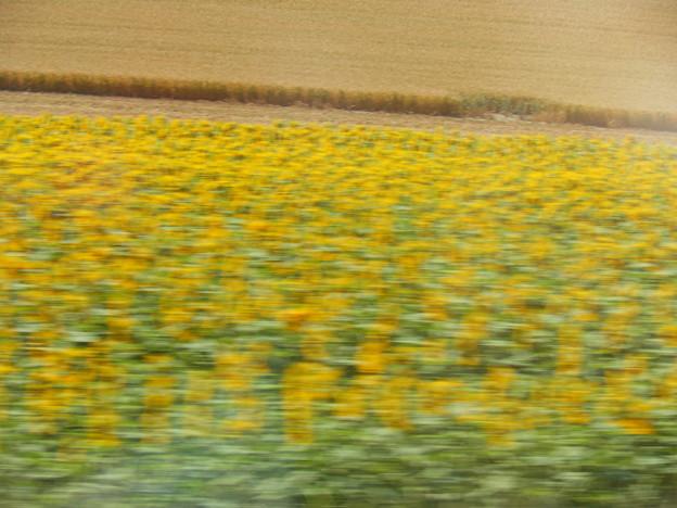 写真: 車窓から~ひまわり畑