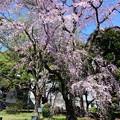 2019*東京国立博物館の桜2