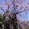 2019*東京国立博物館の桜3