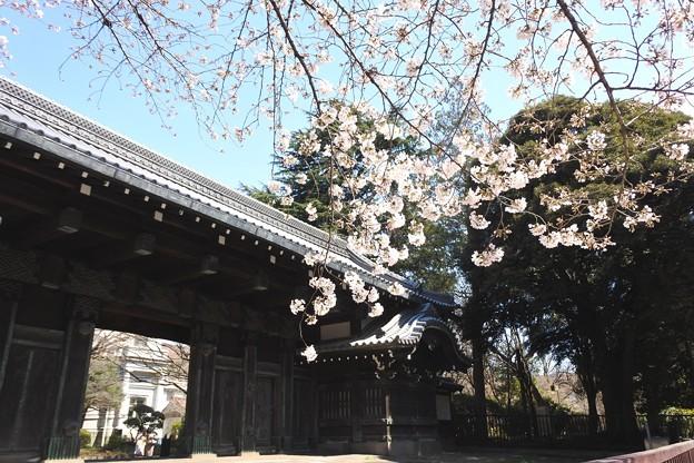 2019*東京国立博物館の桜7