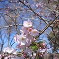 2019*上野公園の桜3