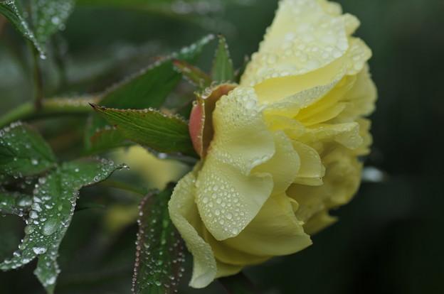 写真: 黄 牡丹