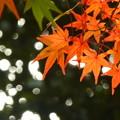 Photos: 縮景園の紅葉