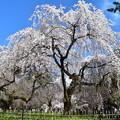 満開の糸桜(枝垂れ桜)