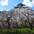 見頃を迎えた糸桜(枝垂れ桜)