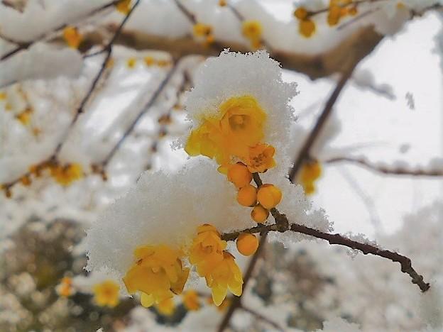雪が積もった蝋梅