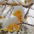 写真: 雪が積もった蝋梅