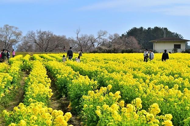 約12000本の菜の花