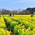 Photos: 約12000本の菜の花