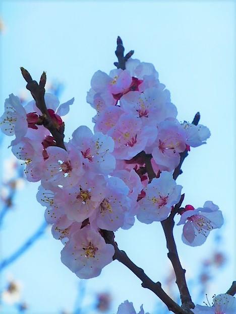 アンズ(杏)の花