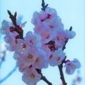 Photos: アンズ(杏)の花