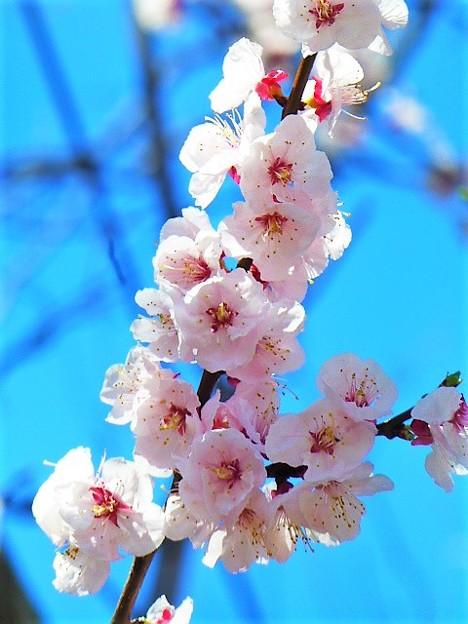Photos: 神戸市立王子動物園の杏の花