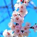 神戸市立王子動物園の杏の花