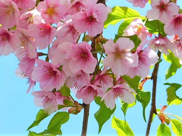 三条大橋沿いの桜