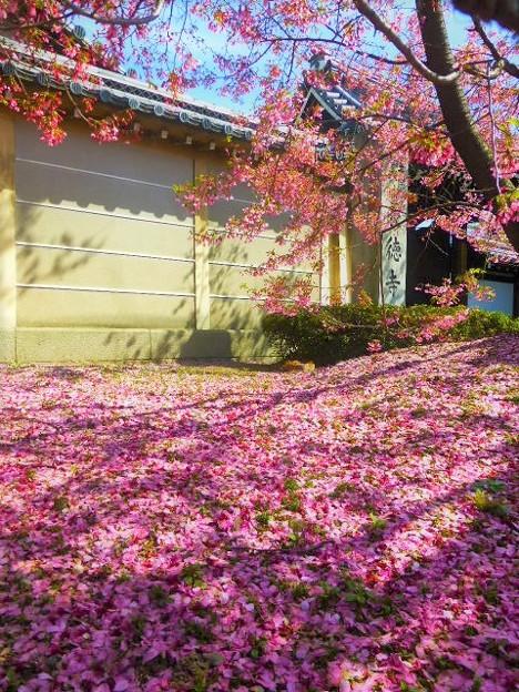 長徳寺 おかめ桜の絨毯