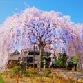 本満寺の枝垂れ桜