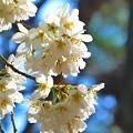 京都御苑の桜