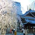 しだれ桜と六角堂