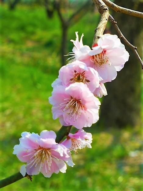 八重咲ピンクの見驚