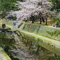 Photos: 桜の水鏡