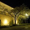 写真: 大阪城の夜桜