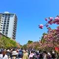 写真: 春の風物詩 大阪造幣局 桜の通り抜け