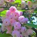 Photos: 兼六園菊桜