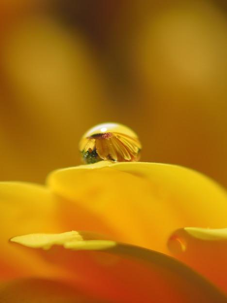 滴に咲く向日葵