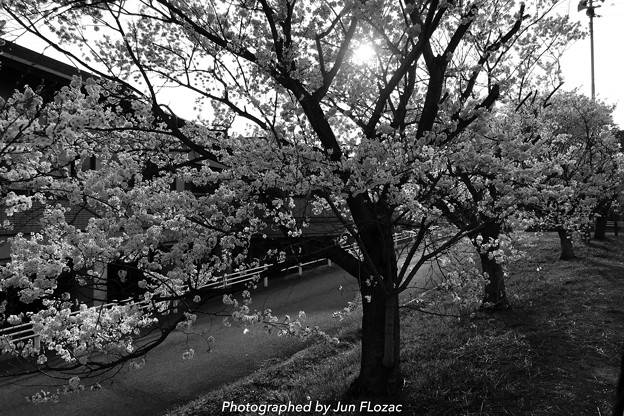 """""""Cherry blossoms in a walking course Camera:"""