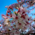 """Photos: """"Cherry blossoms, Spring"""""""