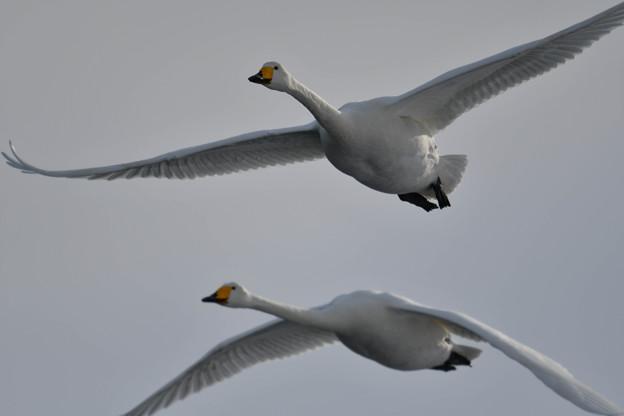 接近して・・2羽の大白鳥